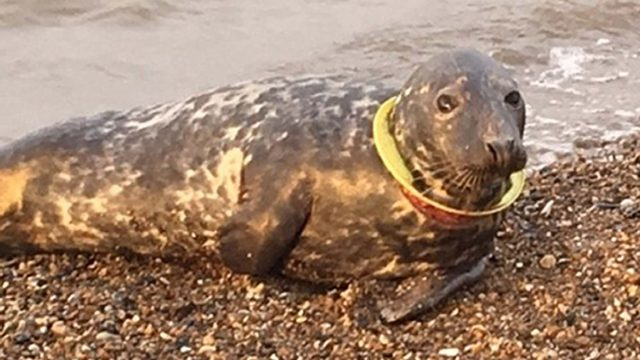 A seal who got a yellow Frisbee trapped round her neck and has finally had it removed after half a year (Friends of Horsey Seals/PA)