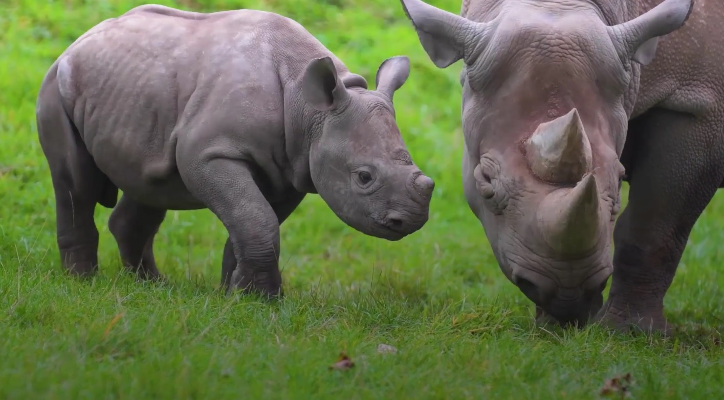 Ike the two month-old rhino calf and his mum