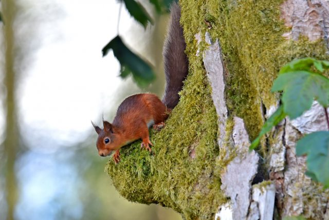 A Red Squirrel looks for food in Kielder Forest in Northumberland (Owen Humphreys/PA)
