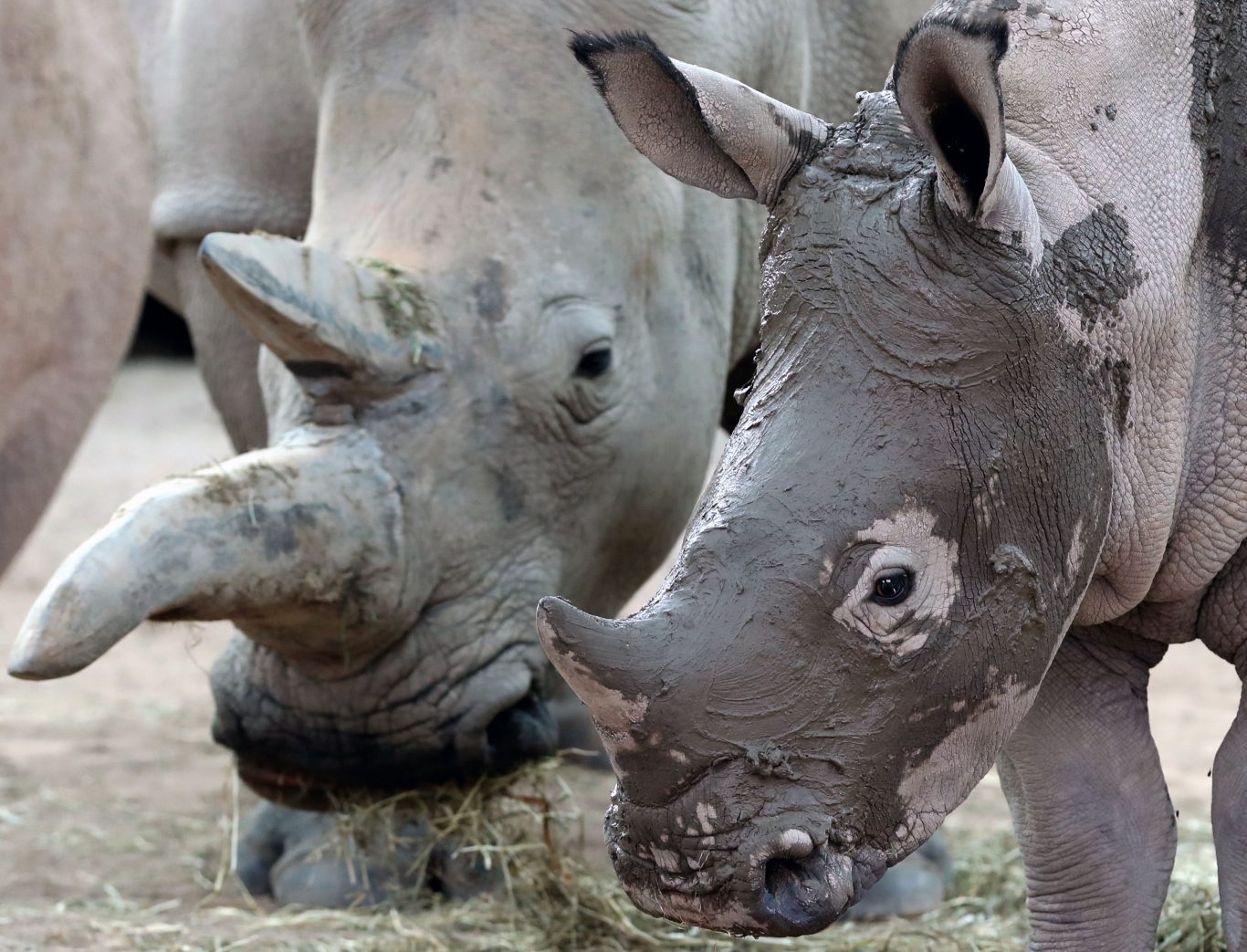 Bonnie the baby white rhino enjoys a facial mudpack with her mum Dorothy in preparation for her first birthday party at Blair Drummond Safari Park (Andrew Milligan/PA)