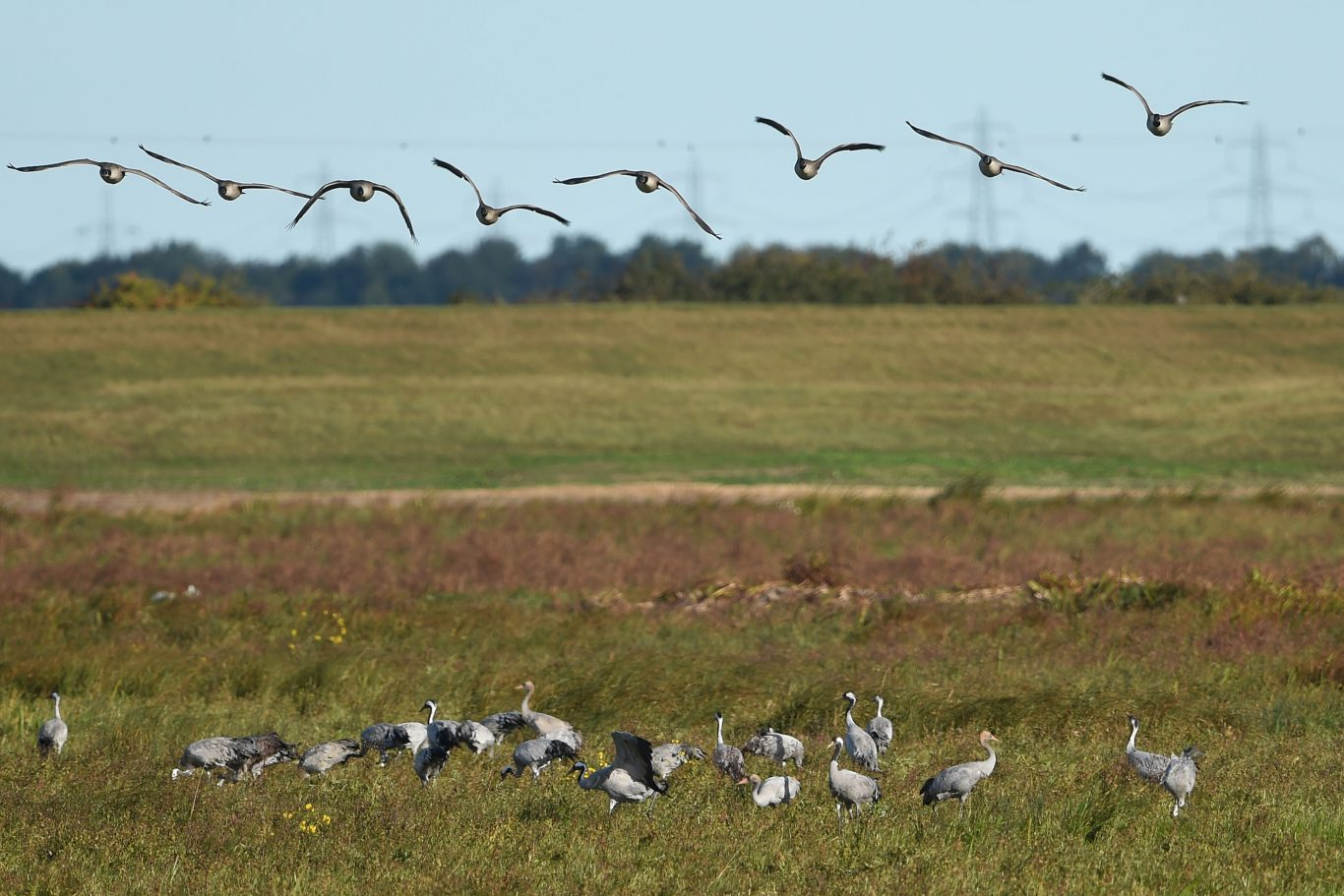 The cranes,  once extinct in the UK, have all flown to the wetland habitat rather than being part of any hand-reared project (Joe Giddens/PA Wire)