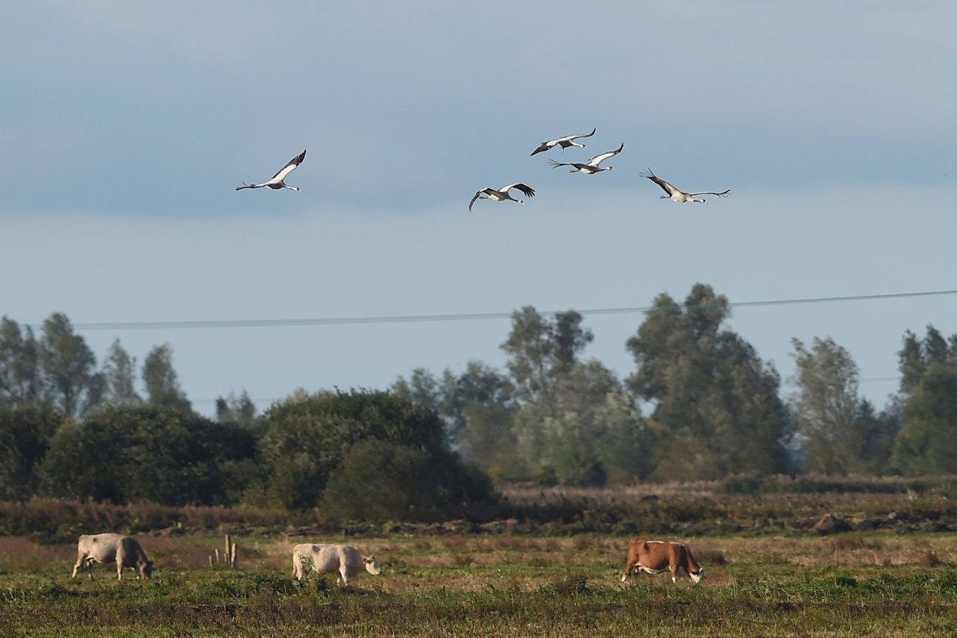 Five of the cranes flying over a herd of cows ( Joe Giddens/PA Wire)