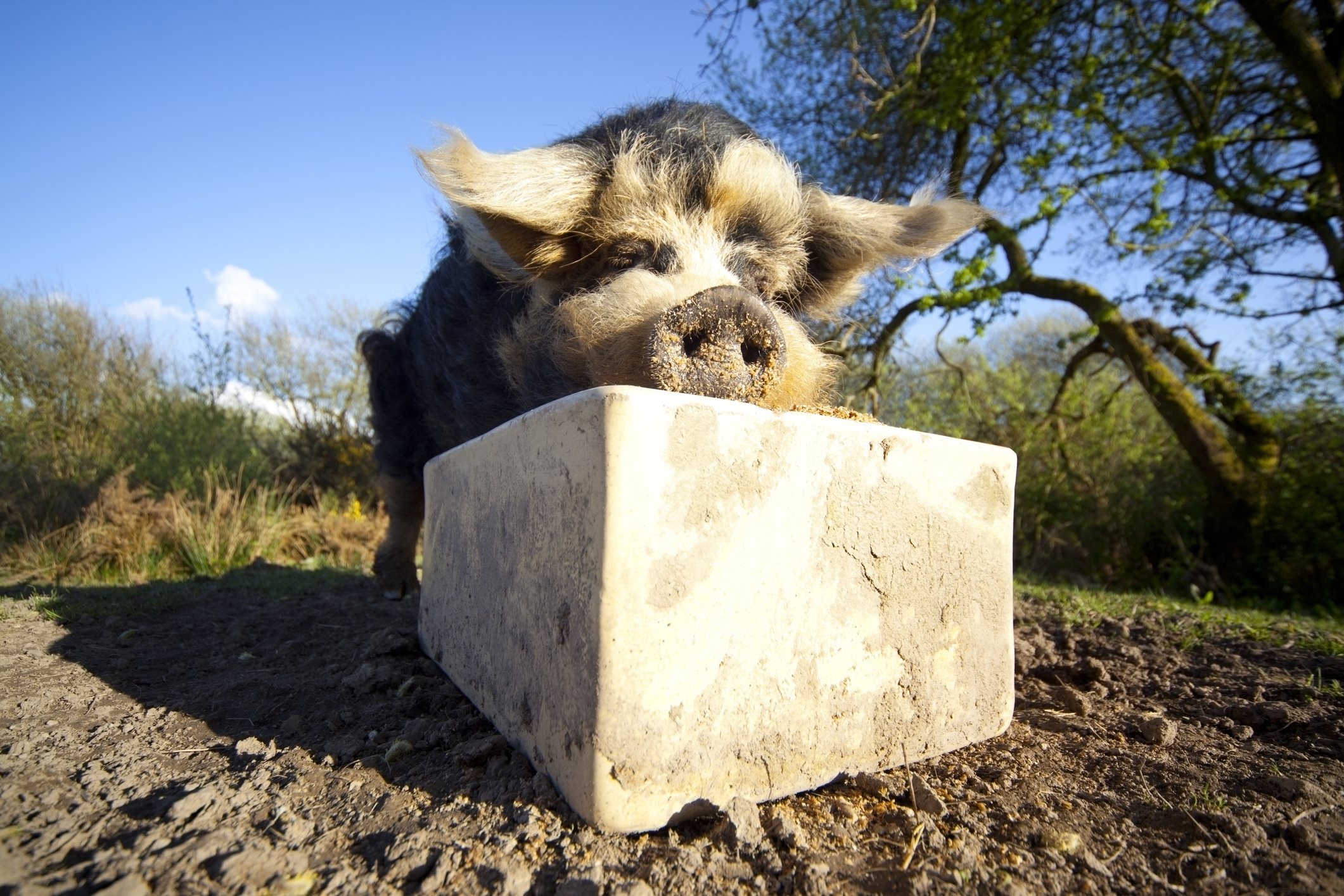 An adult Kunekune pig (SashaFoxWalters/Getty Images)