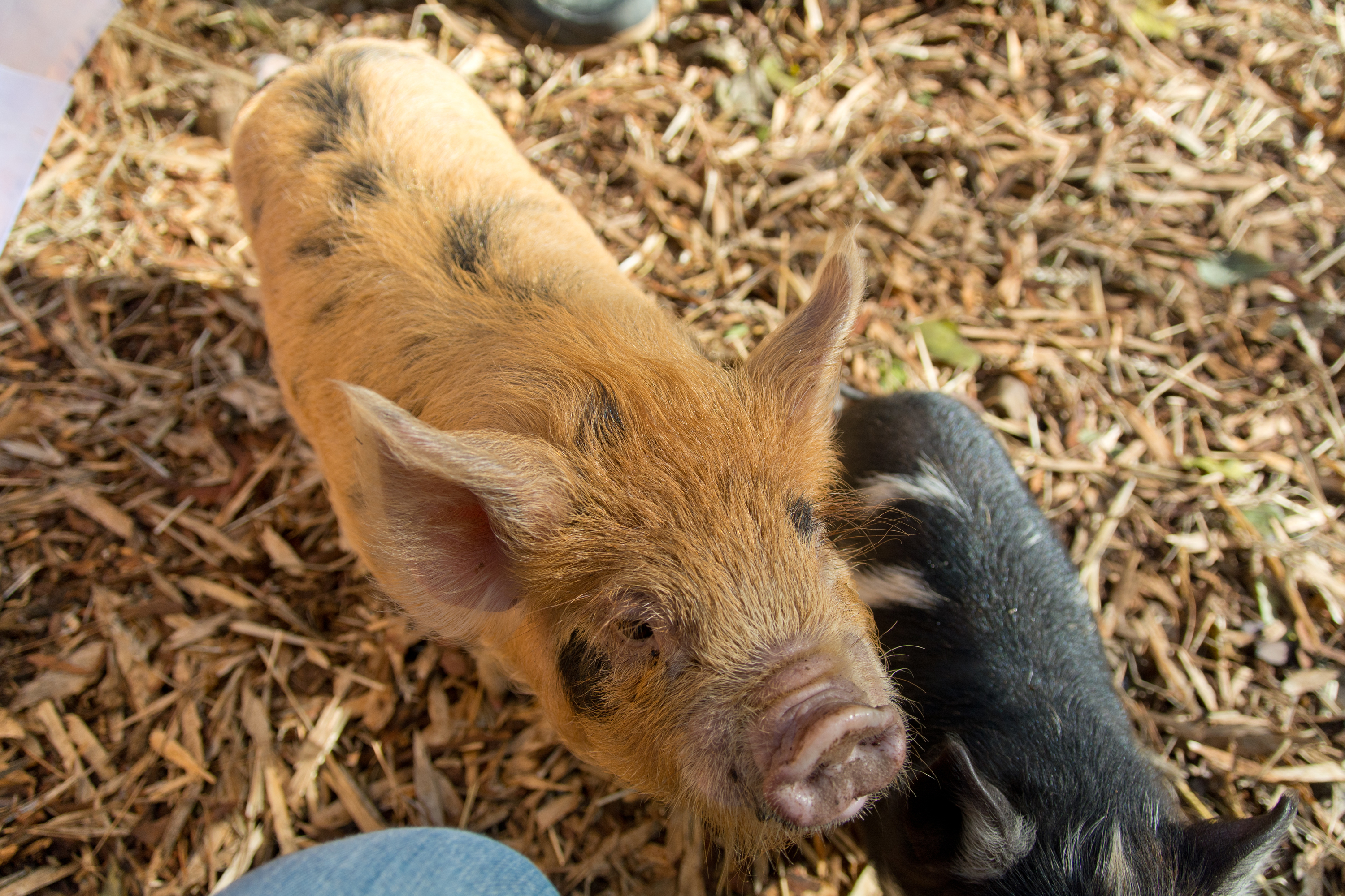 Young pigs can understand and copy actions of older pigs just by watching (Vetmeduni Vienna)