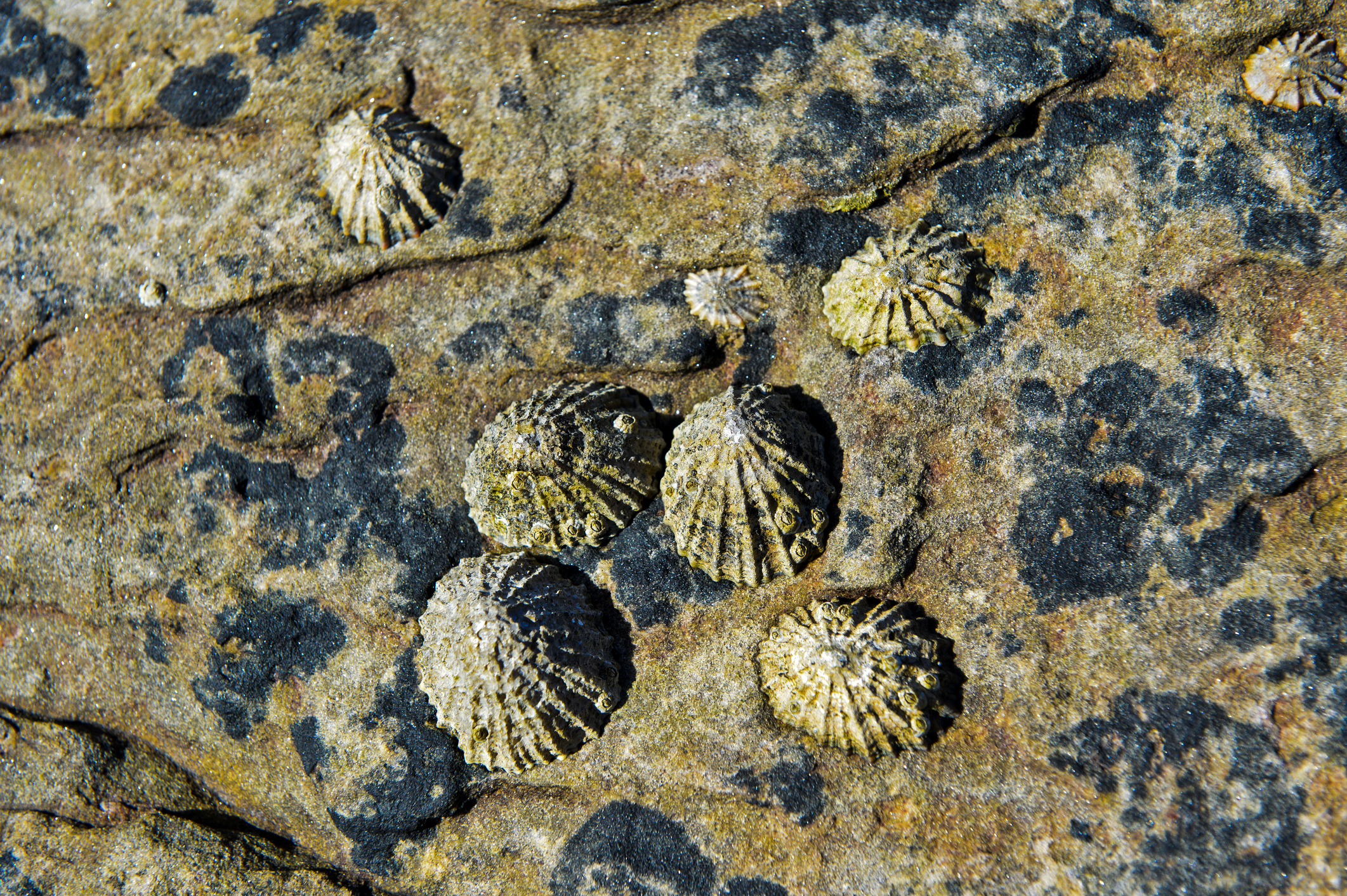 Limpets are like snails, but with a cone-shaped shell (Rebecca Kordas)