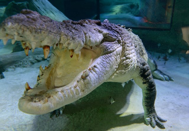 A saltwater crocodile, jaws agape