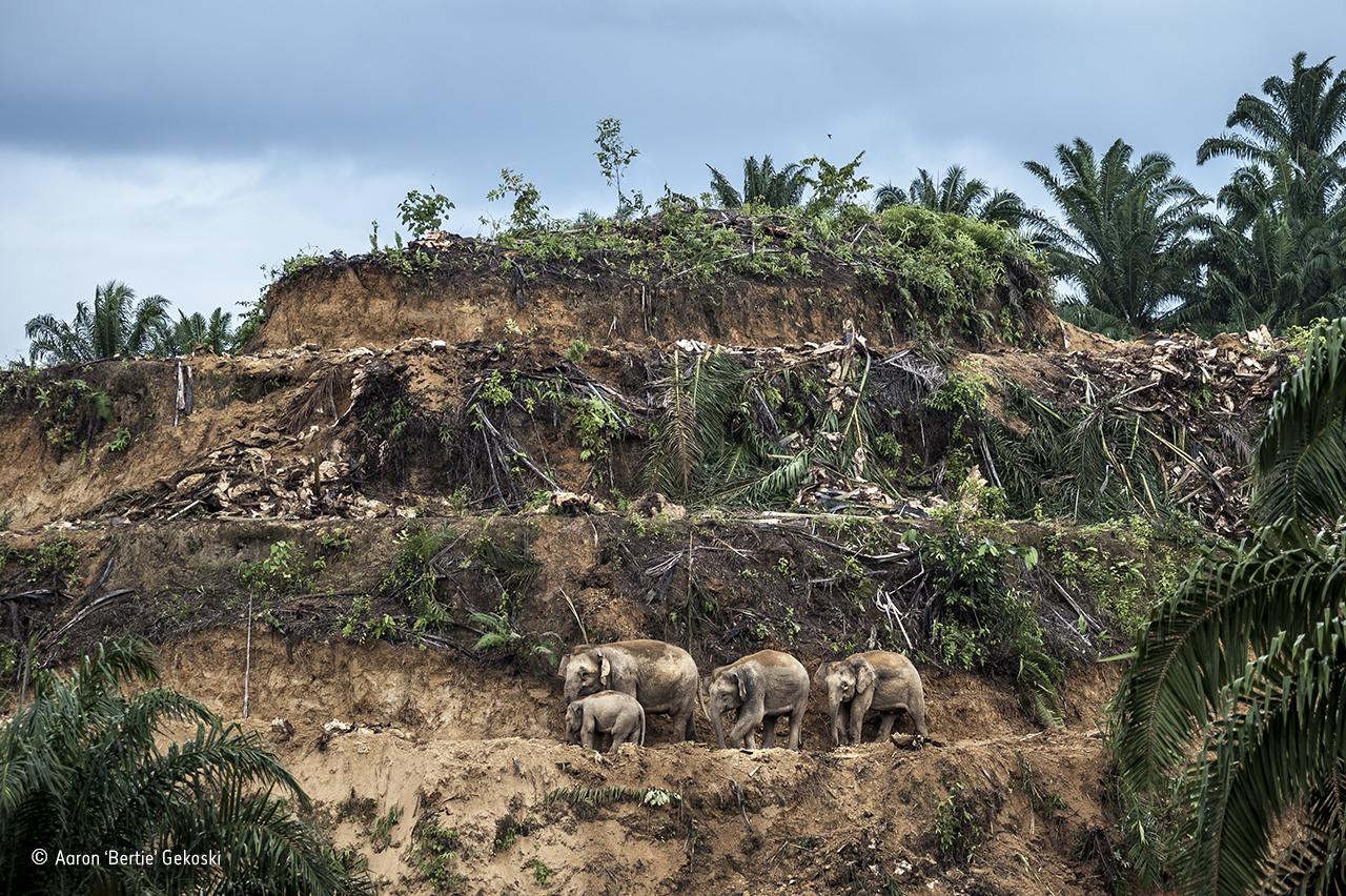 Asian plantations palm uk