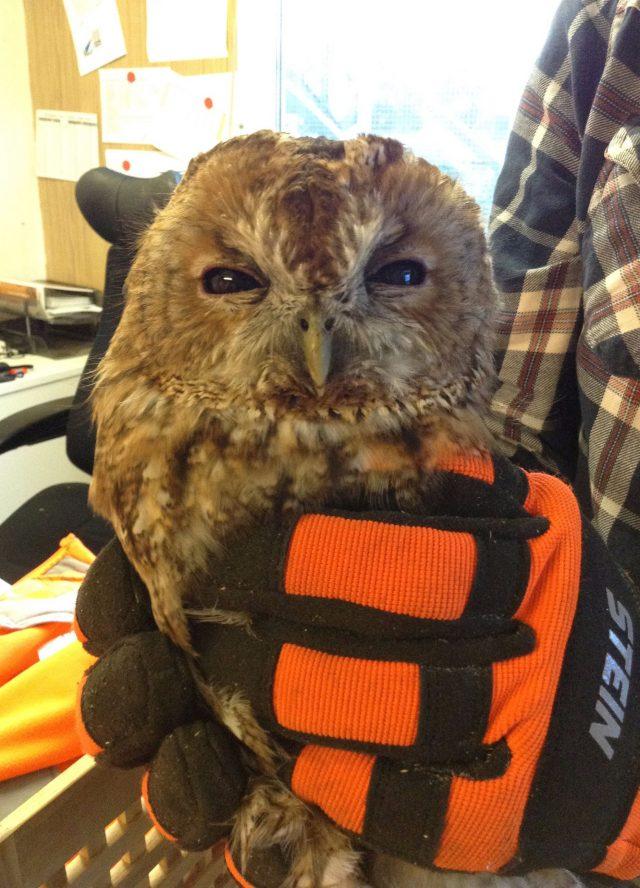 Tony the Tawny owl