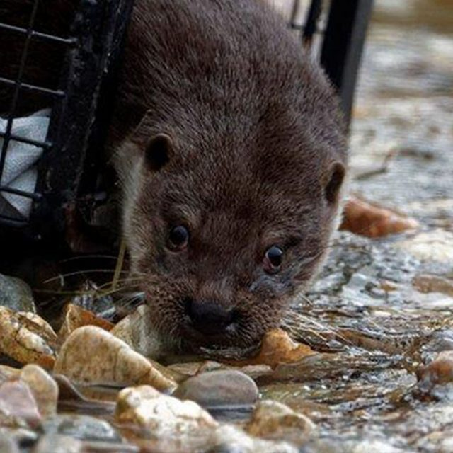 One of the otters is released in a secret location
