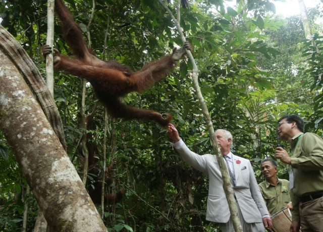 Charles meets orangutan