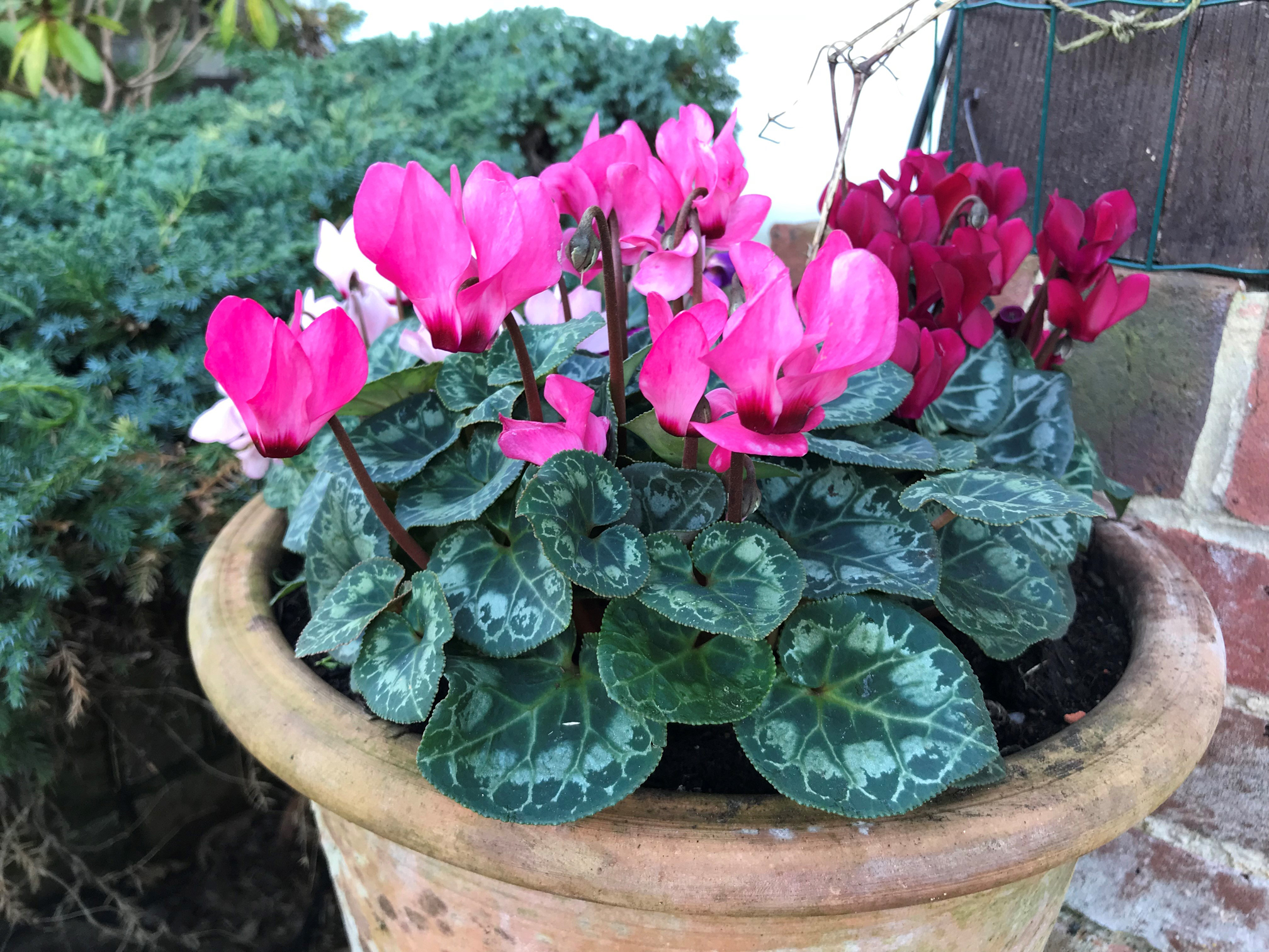 Underplant perennial climbers with colourful cyclamen. (Hannah Stephenson/PA)