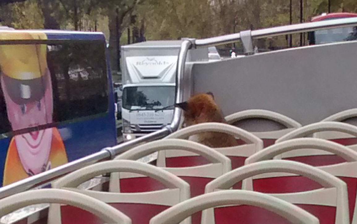 The fox got a good seat on the top deck to see London (RSPCA/Big Bus London)