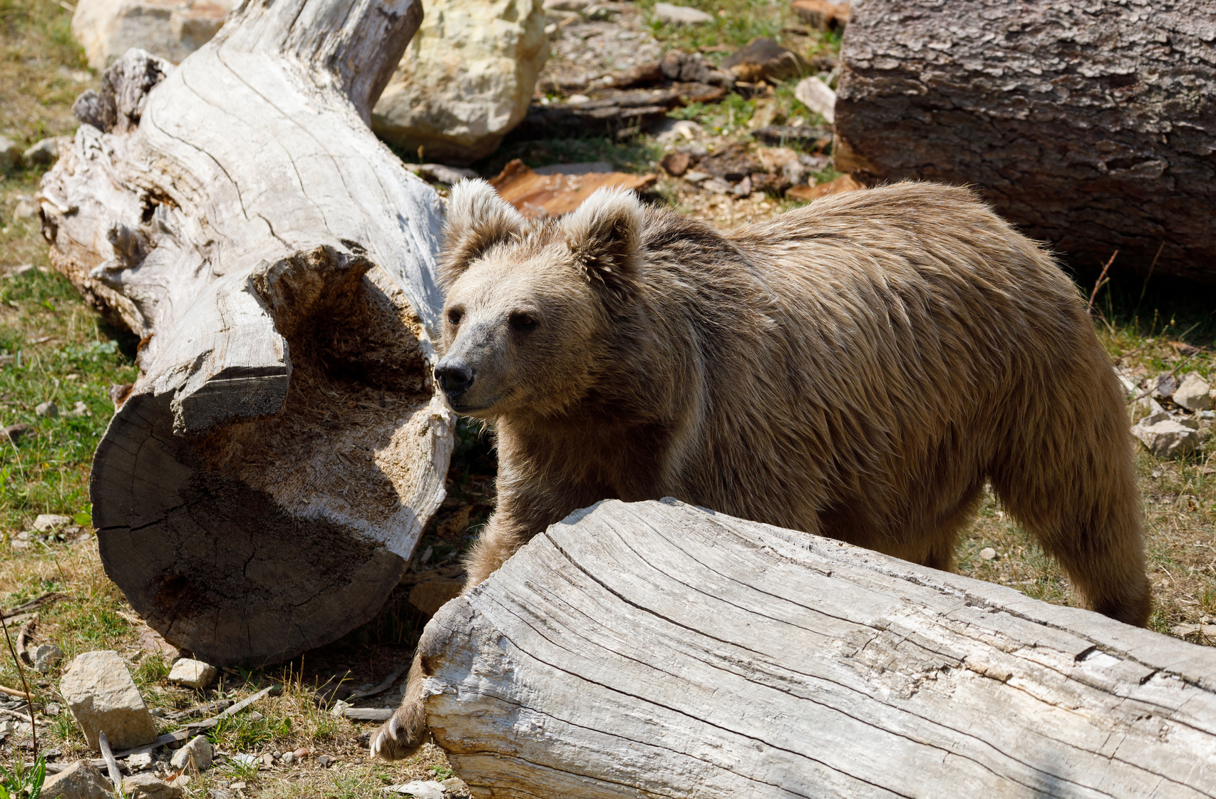 Have scientists finally debunked the Himalayan Yeti legend ... Himalayan Brown Bear Yeti