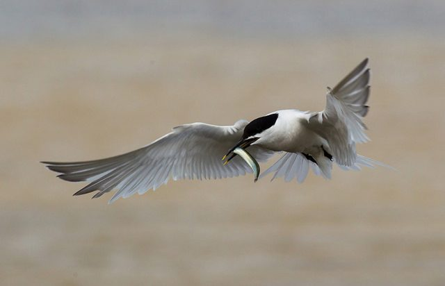 A sandwich tern, one of a number of rare seabirds whose habitats will be protected  (Natural England/PA)