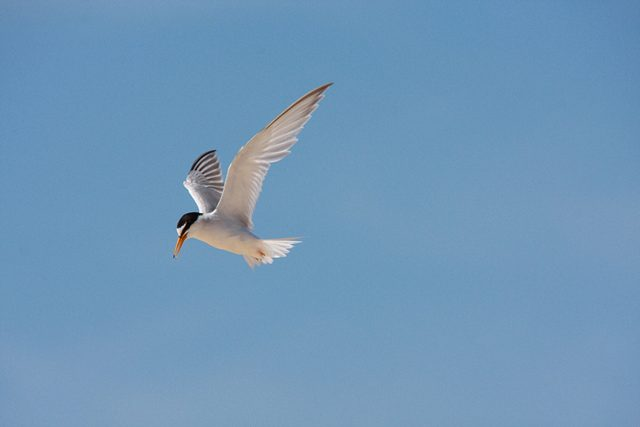 A little tern flies (Natural England/PA)
