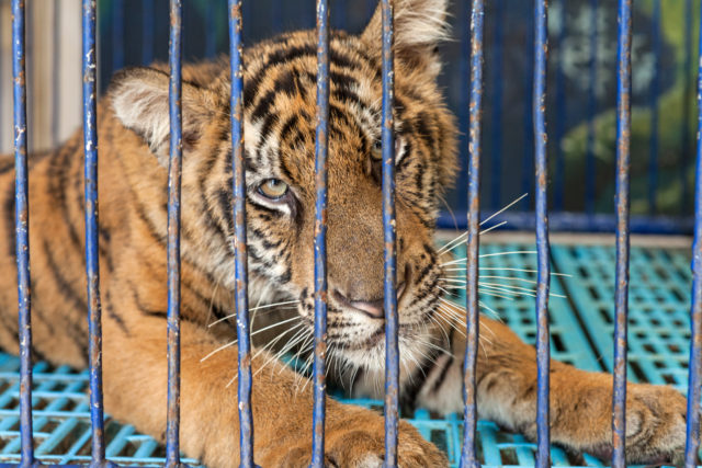 Tiger in captivity (World Animal Protection)
