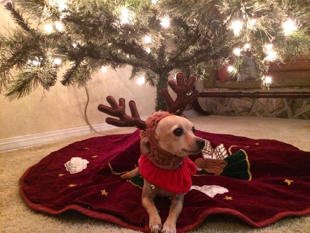 Skippy the chihuahua wearing antlers