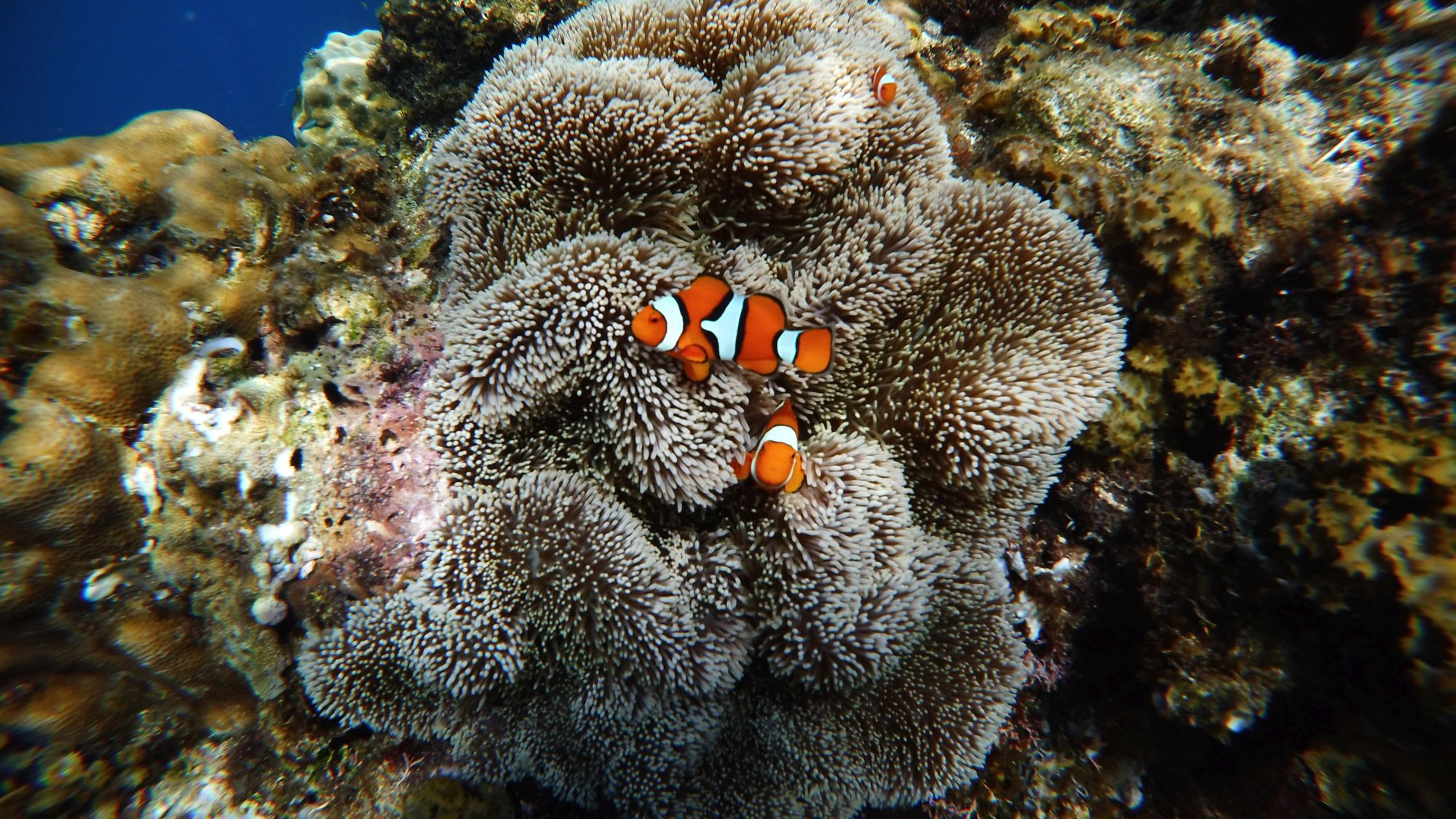 Clown fish in an anemone (Renato Granieri/PA)