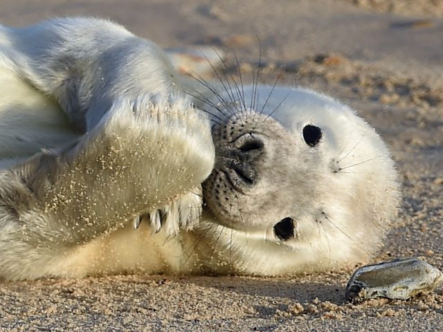 A grey seal pup on the beach at Horsey Gap (Joe Giddens/PA)