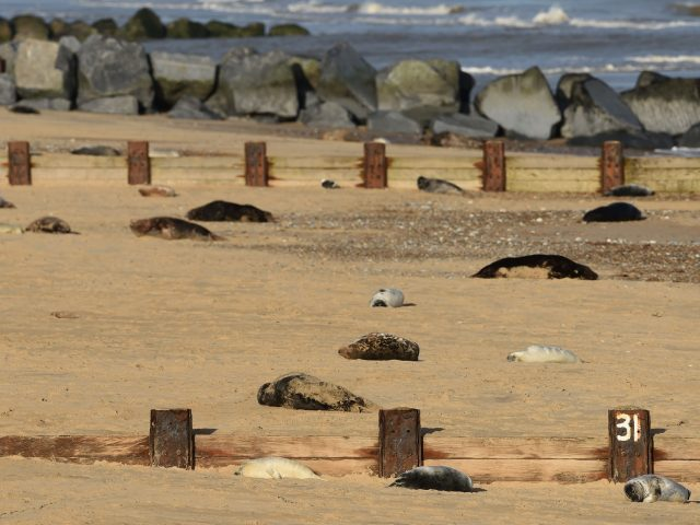 Grey seals on the beach at Horsey Gap (Joe Giddens/PA)