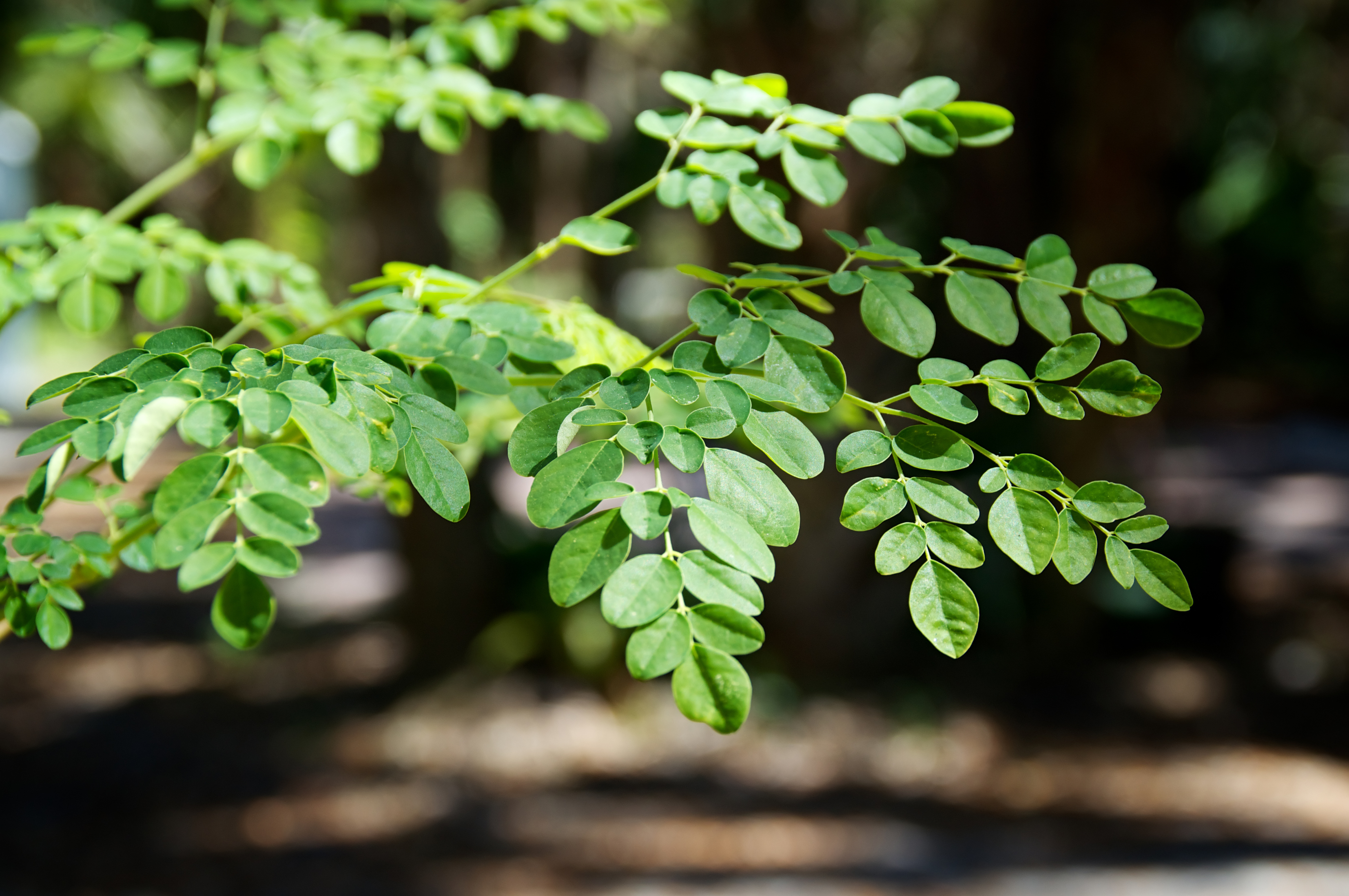 eye level view of the leaves at the top of a young moringa tree, used for alternative medicine.