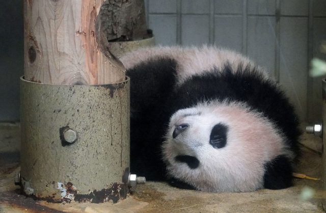 Cute baby panda to be shown to public