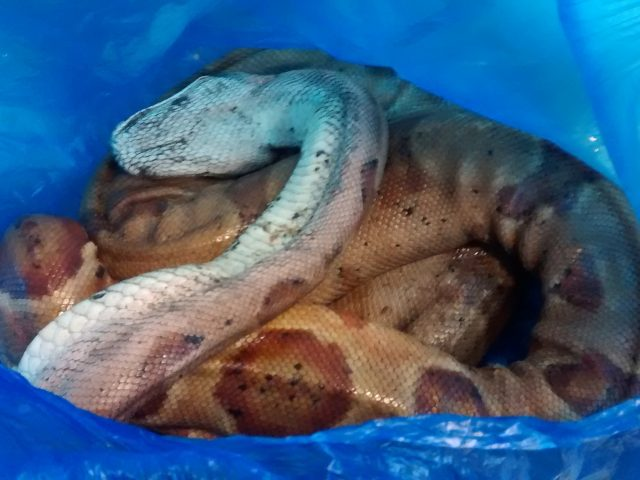 The snake was found to be underweight (RSPCA Cymru/PA)
