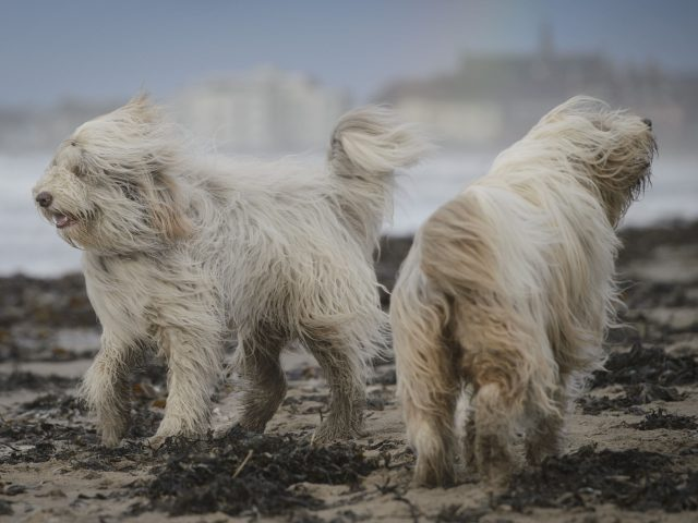Bearded Collies on the beach in the Ayrshire seaside town of Troon
