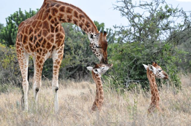 Giraffes in Kenya, East Africa, during a study by the University of Bristol (Zoe Muller/PA)