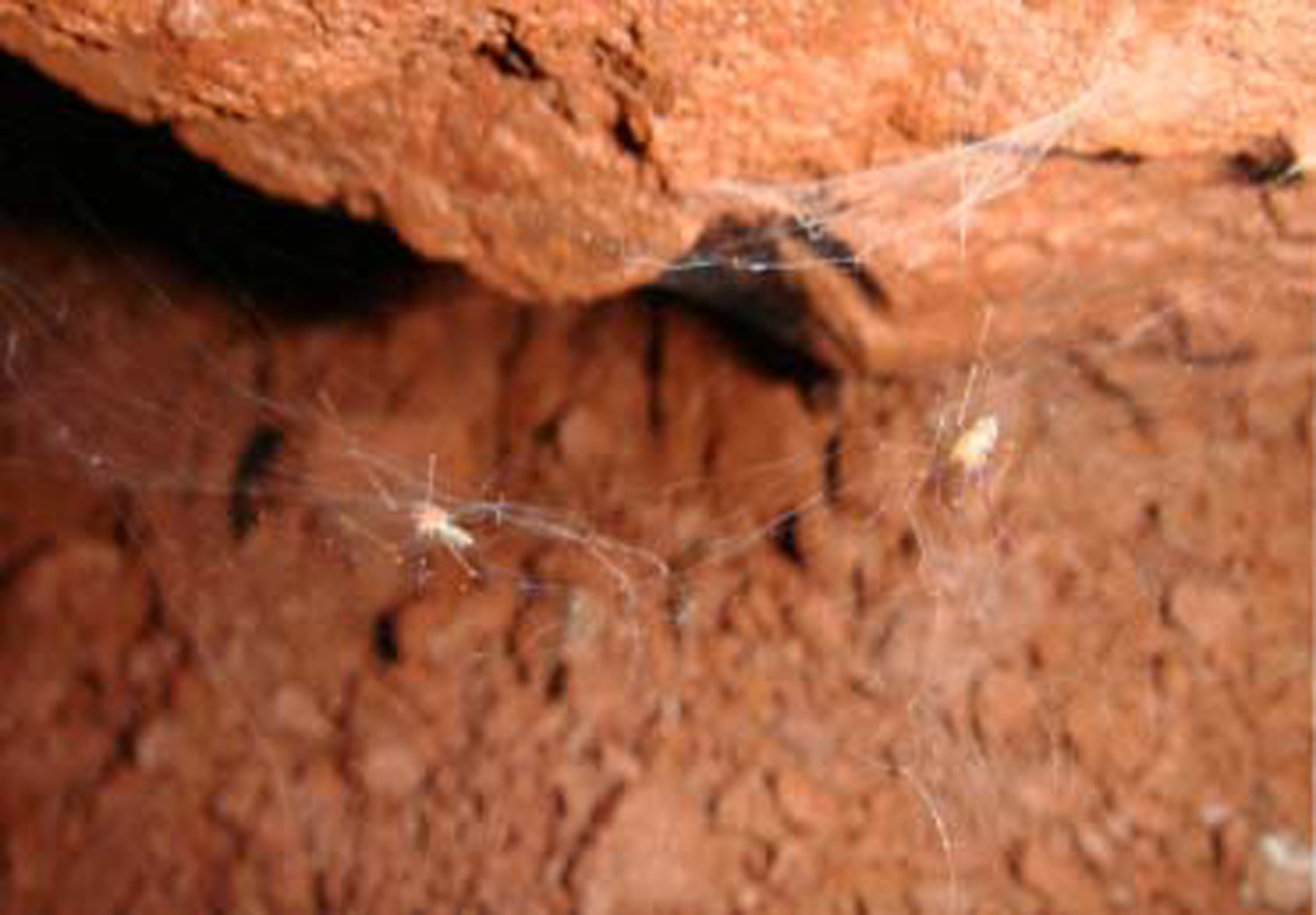 The species Ochyrocera misspider gets its name from Little Miss Spider.