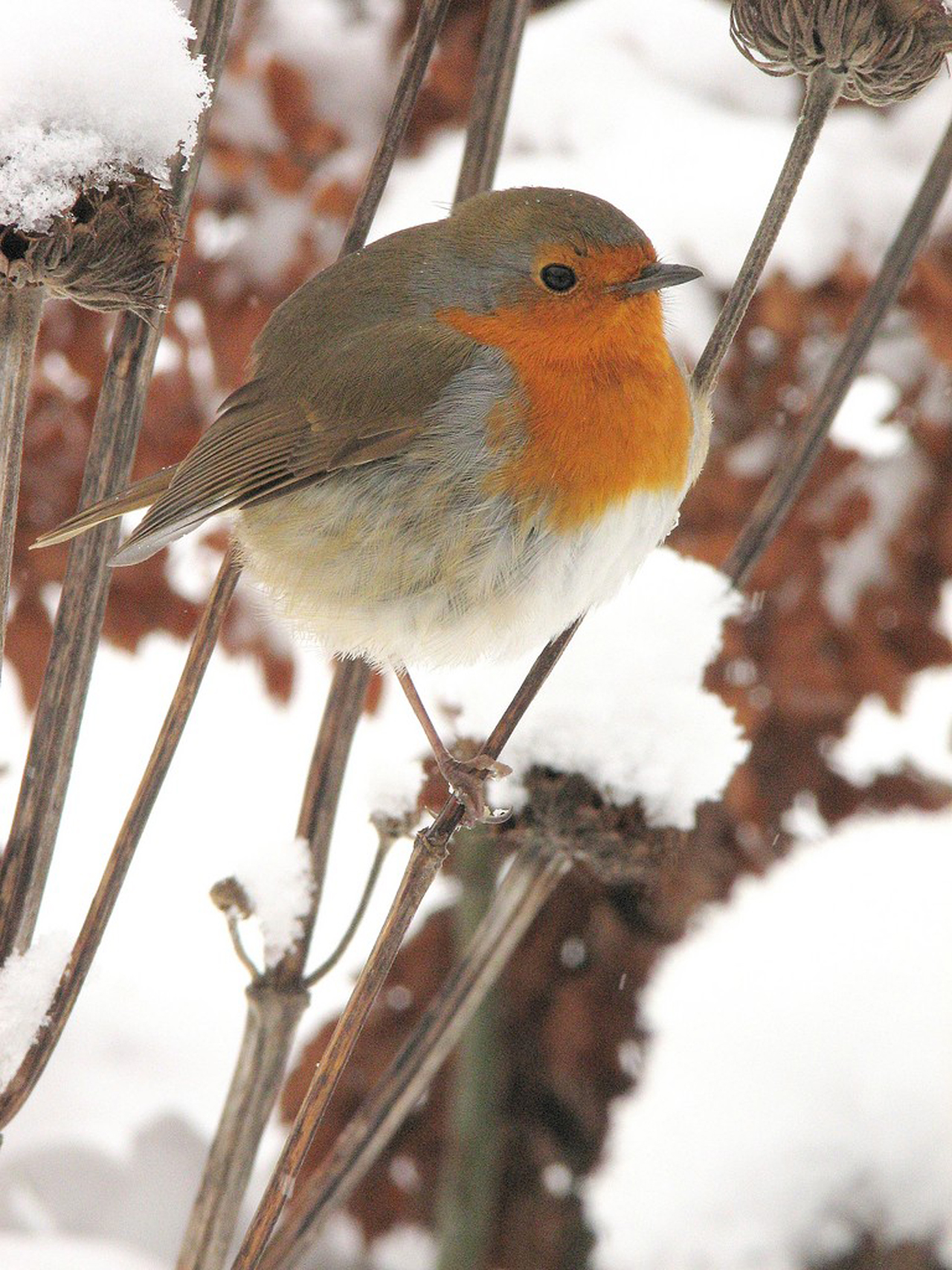 A robin on snowy seedheads. (RHS/Paul Cumbleton/PA)