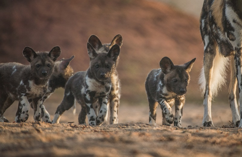 Many painted dog pups