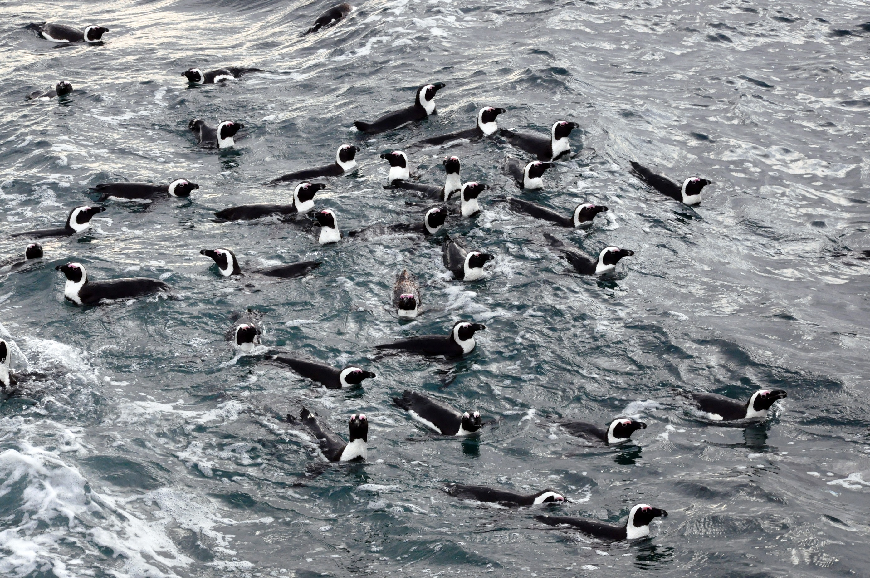 Colonies of African penguins could benefit from the introduction of a no-fishing zones, a study suggests (Richard Sherley/University of Exeter/PA).