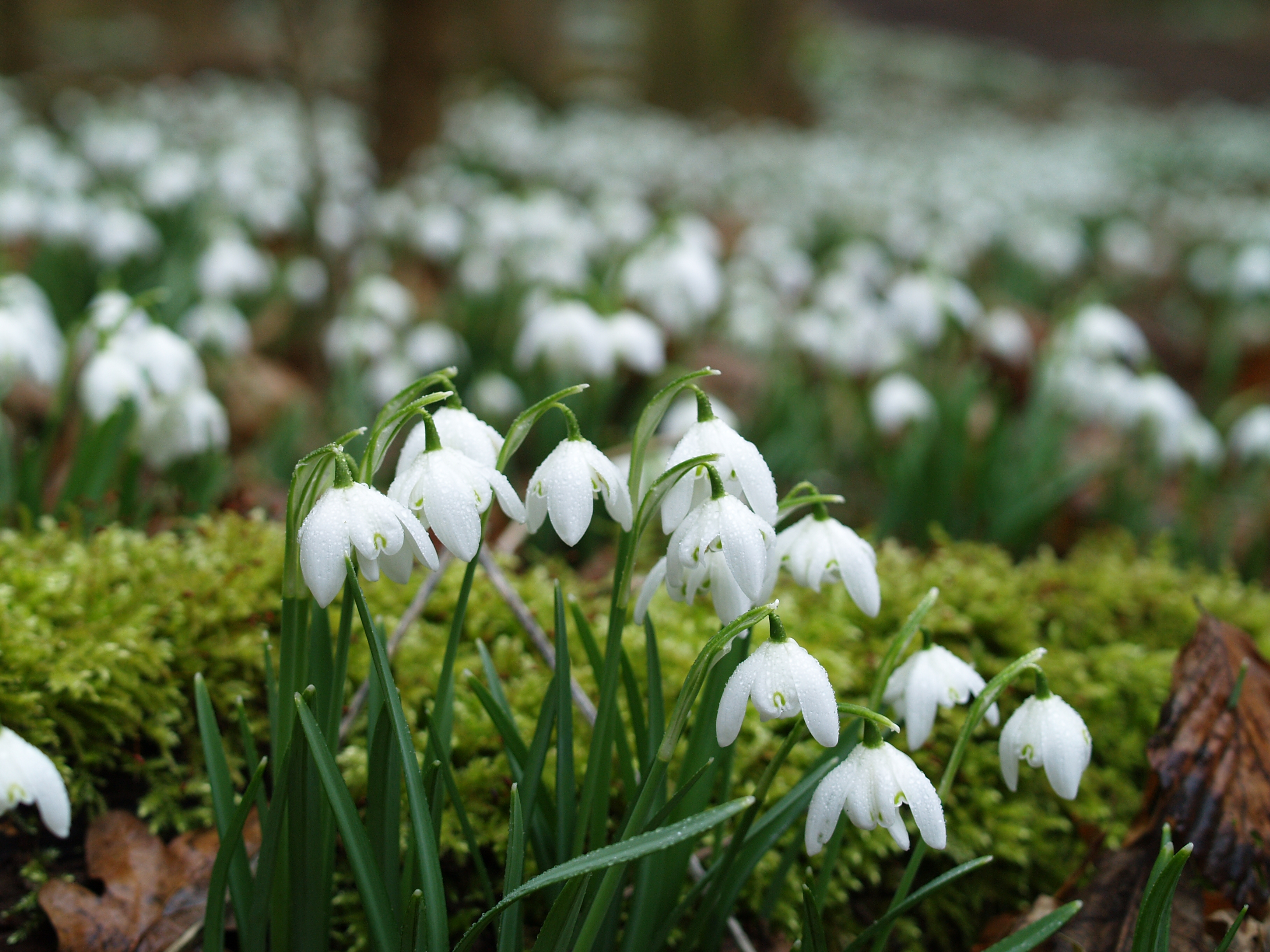 Snowdrops at Ickworth. (National Trust Images/PA)