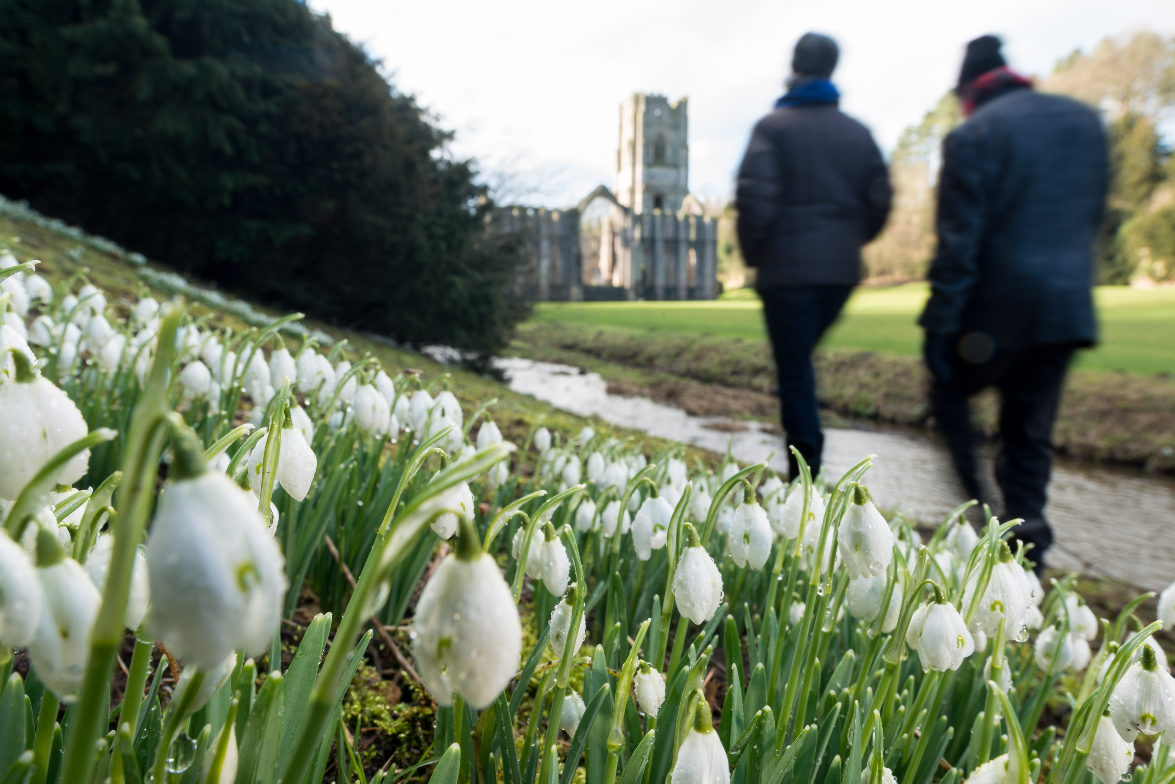 Snowdrops at Fountains Abbey. (Jonathan Pow/National Trust Images/PA