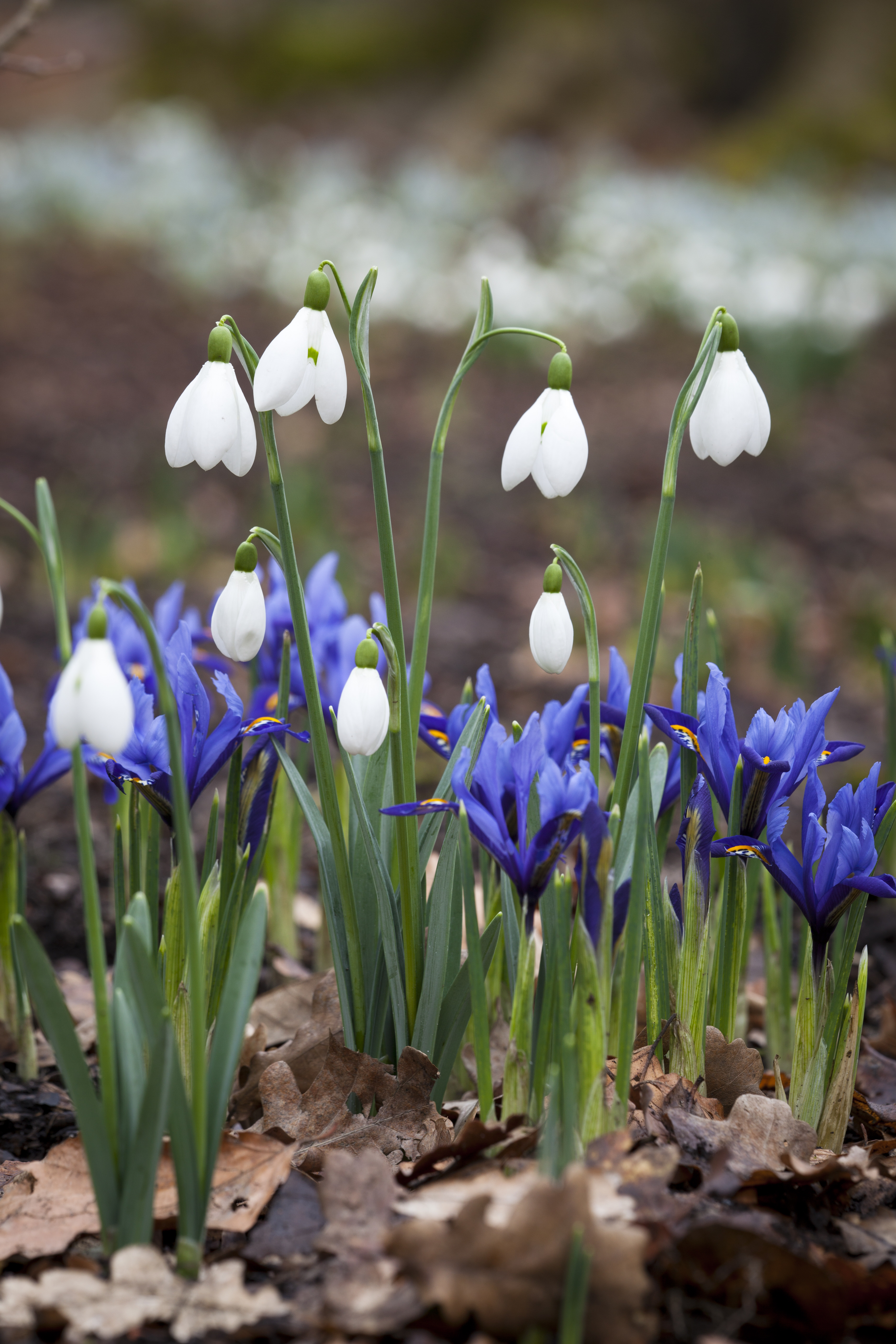 Iris reticulata and snowdrops at Dunham Massey. (Jonathan Buckley/National Trust Images/PA)