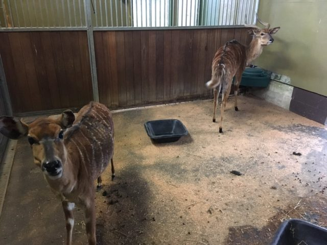 Marwell Zoo is testing out smart technology in the nyala house (Marwell Zoo/PA)