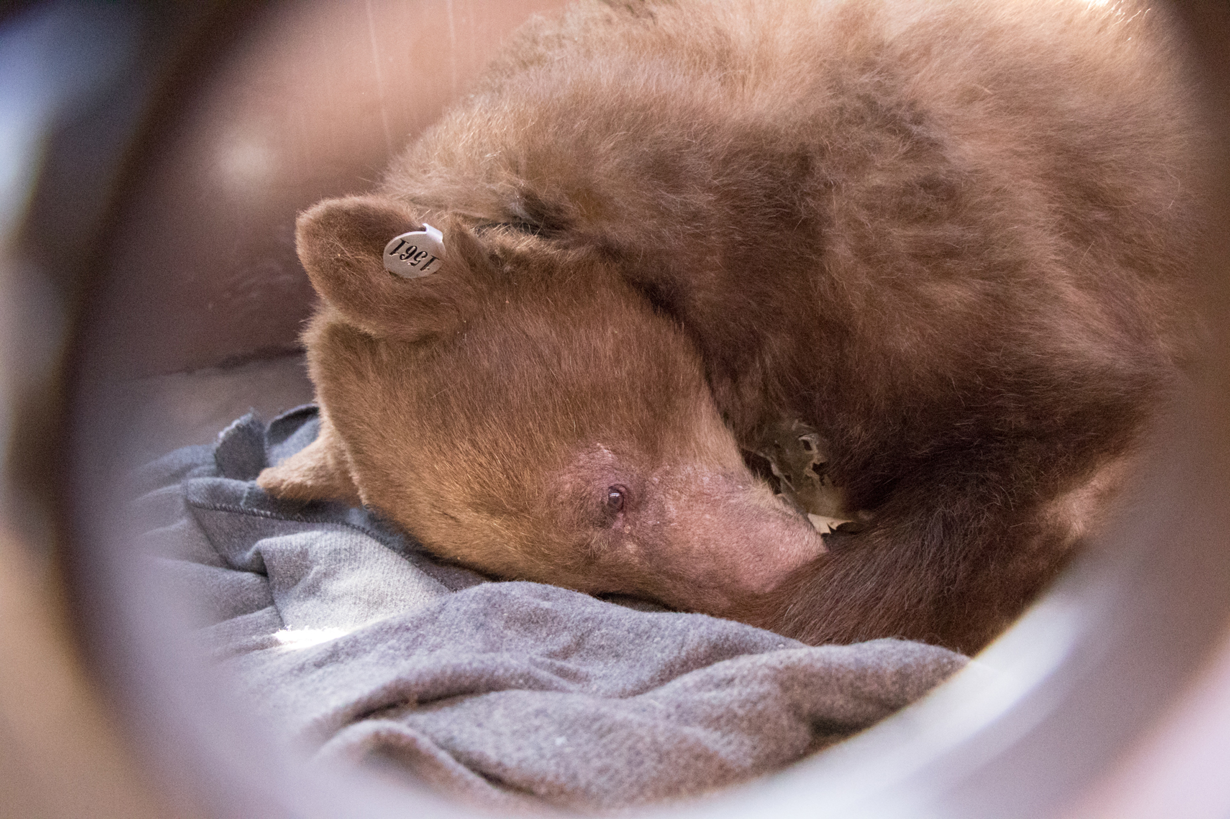 Injured bear recovering.