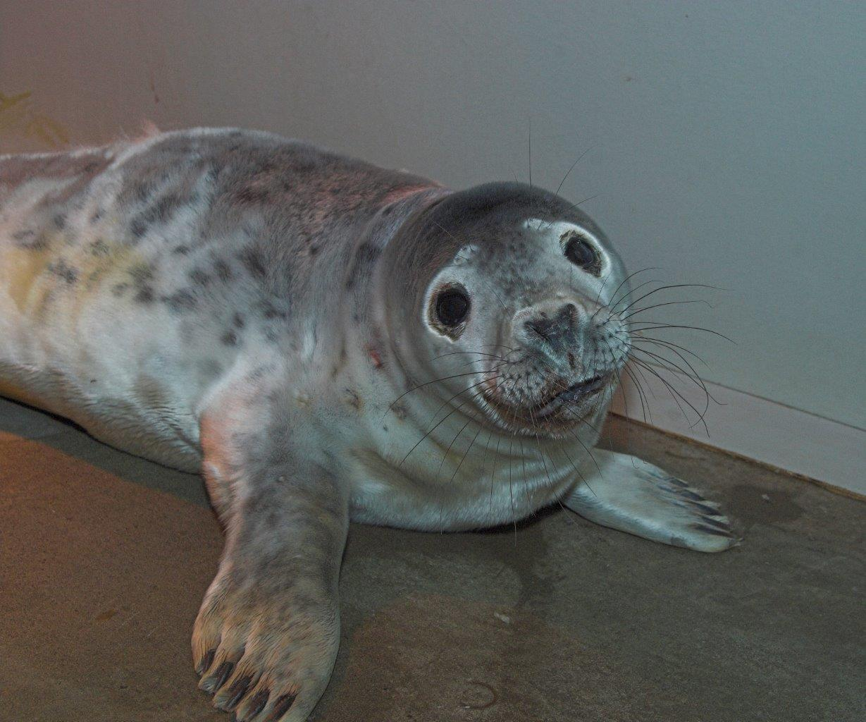 Grey seal Snow White is being cared for at the Scottish SPCA National Wildlife Rescue Centre (Scottish SPCA/PA)