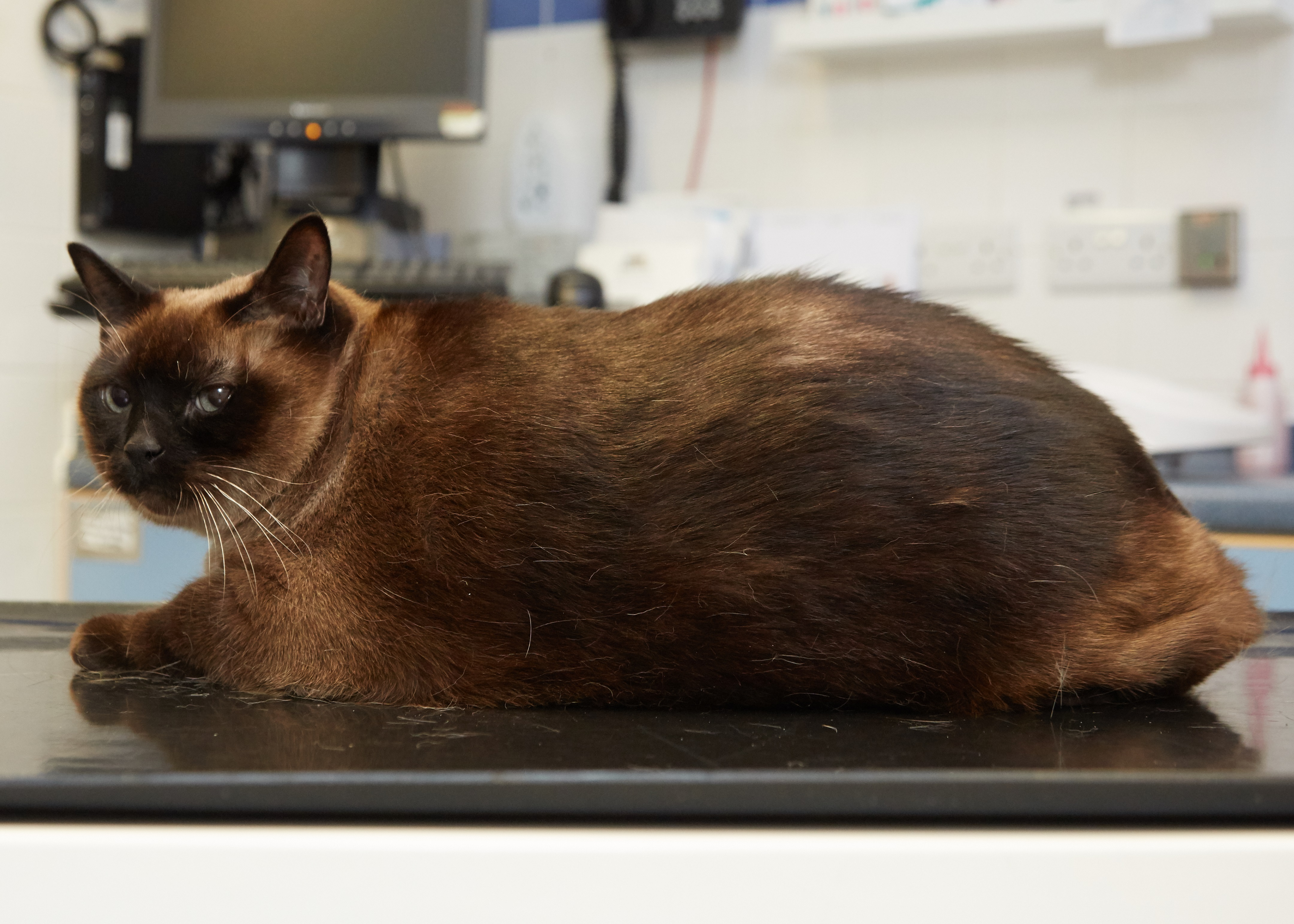 Elvis the cat is one of the entrants to the PDSA Pet Fit Club slimming competition (PDSA/PA)