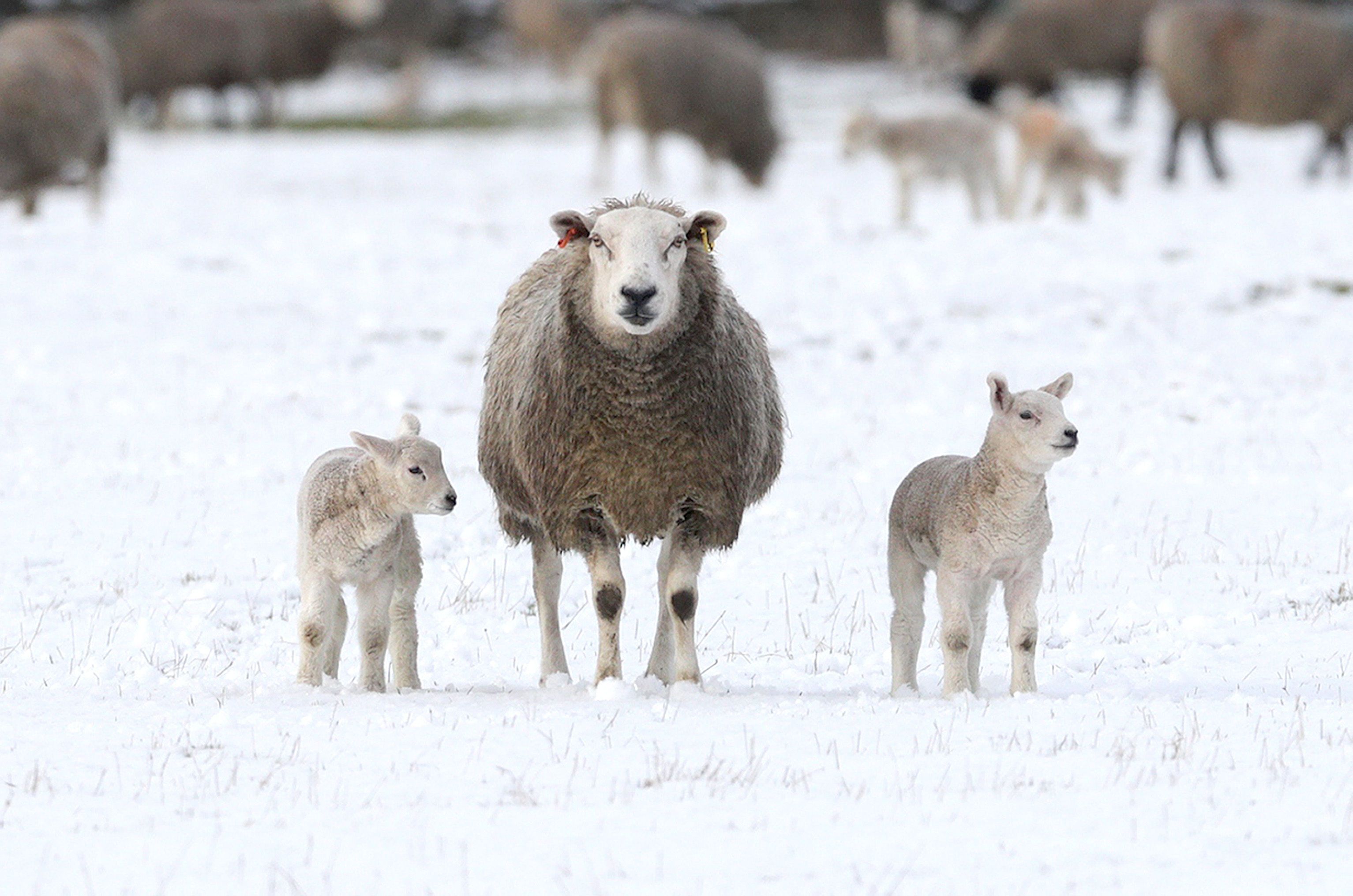 A ewe and two lambs in the snow in Penrith, Cumbria (Owen Humphreys/PA)