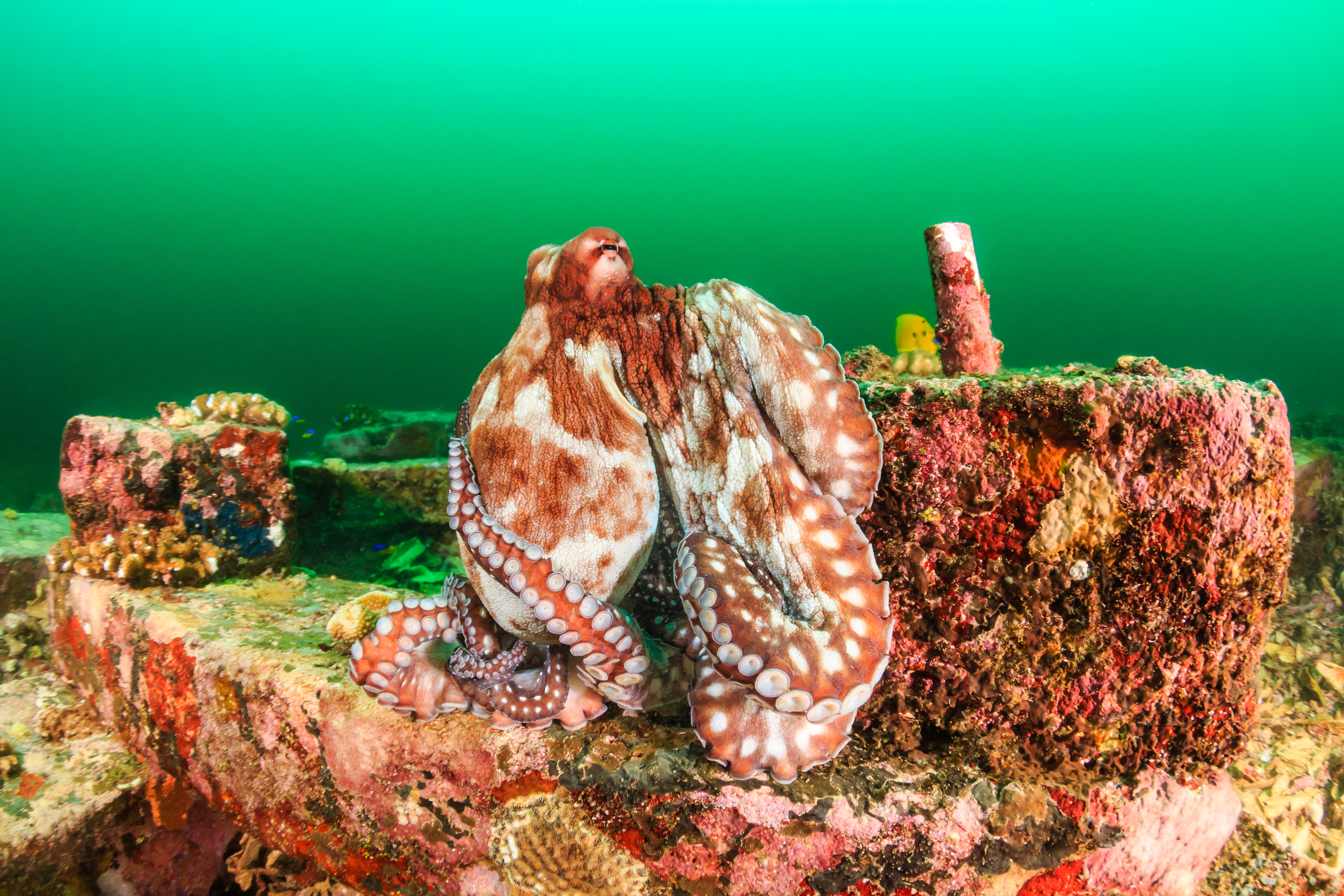 An adult Caribbean Reef Octopus (WhitcombeRD/Getty Images)