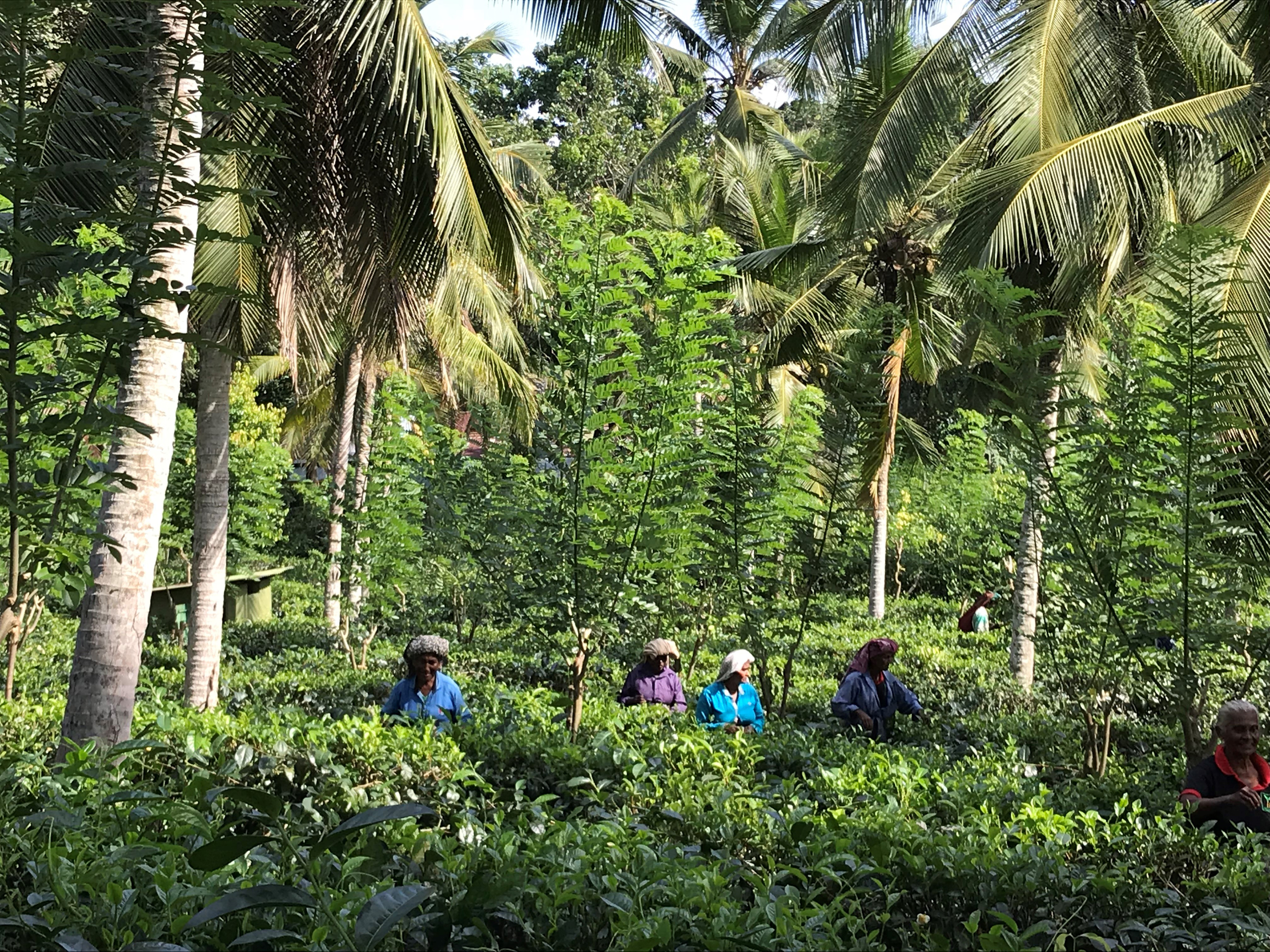 Tea pickers at Handunugoda Estate (Hannah Stephenson/PA)