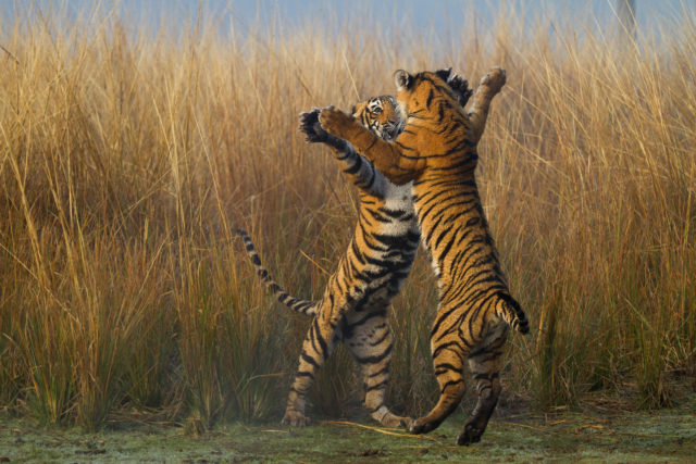 Tiger numbers have fallen to less than 4,000 in the wild (Souvik Kundu/WWF/PA)