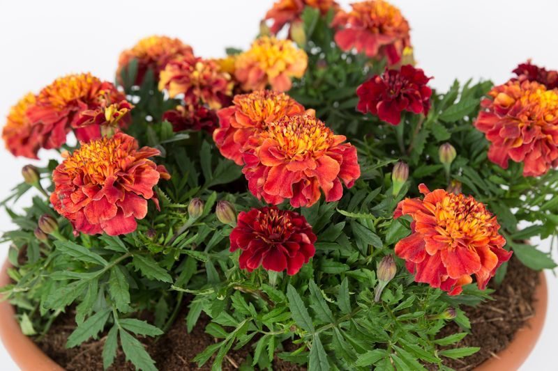 Tagetes patula 'Strawberry Blonde'. (Sarah Cuttle/RHS/PA)
