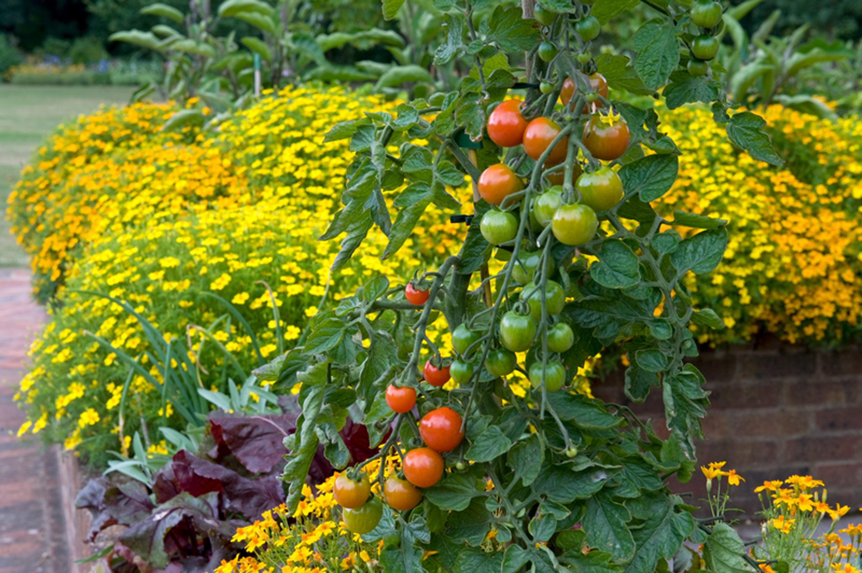 Tagetes growing with tomatoes. (Jerry Harpur/RHS/PA)