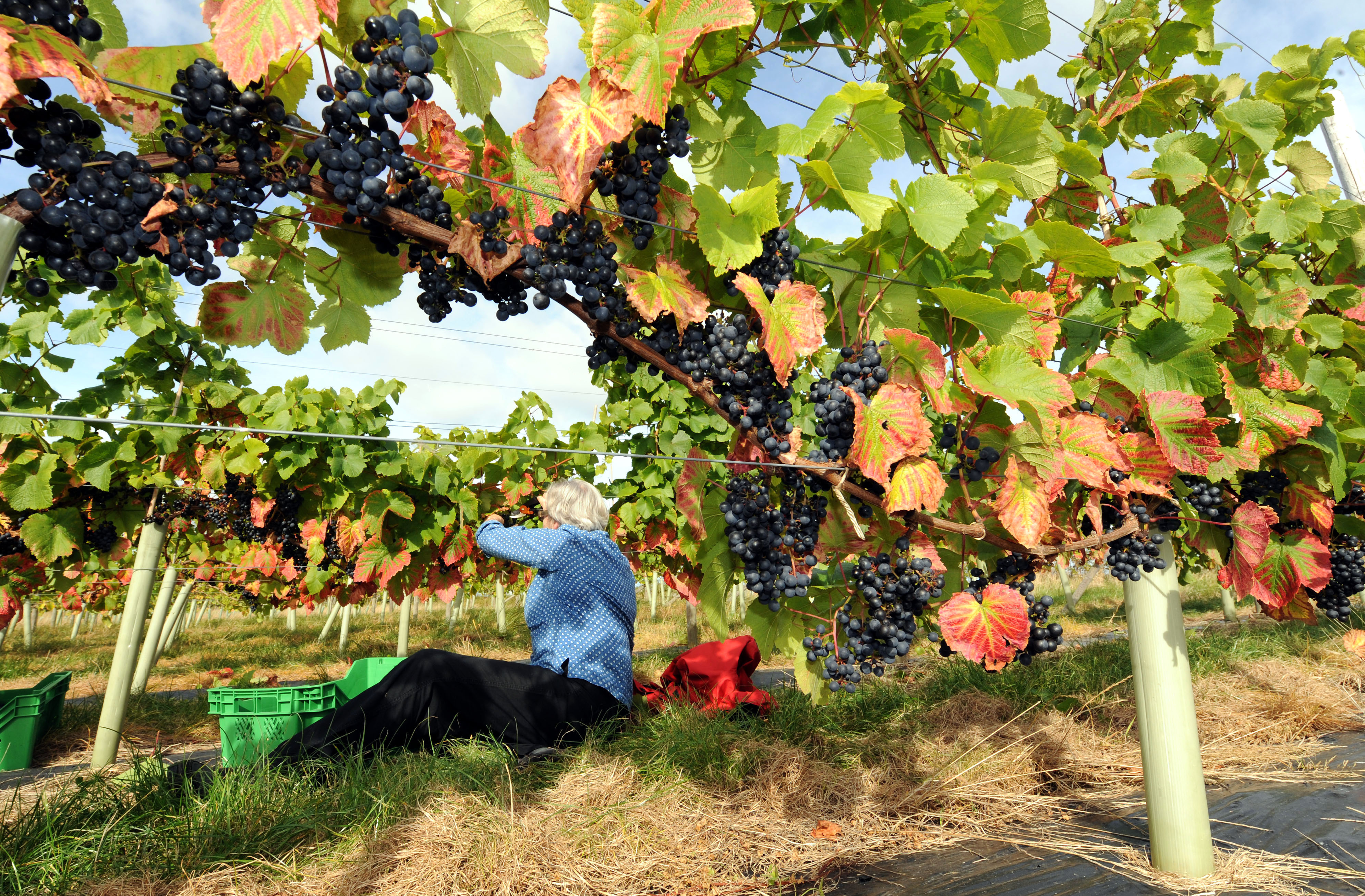 Pickers gather grapes at a vineyard (John Giles/PA)