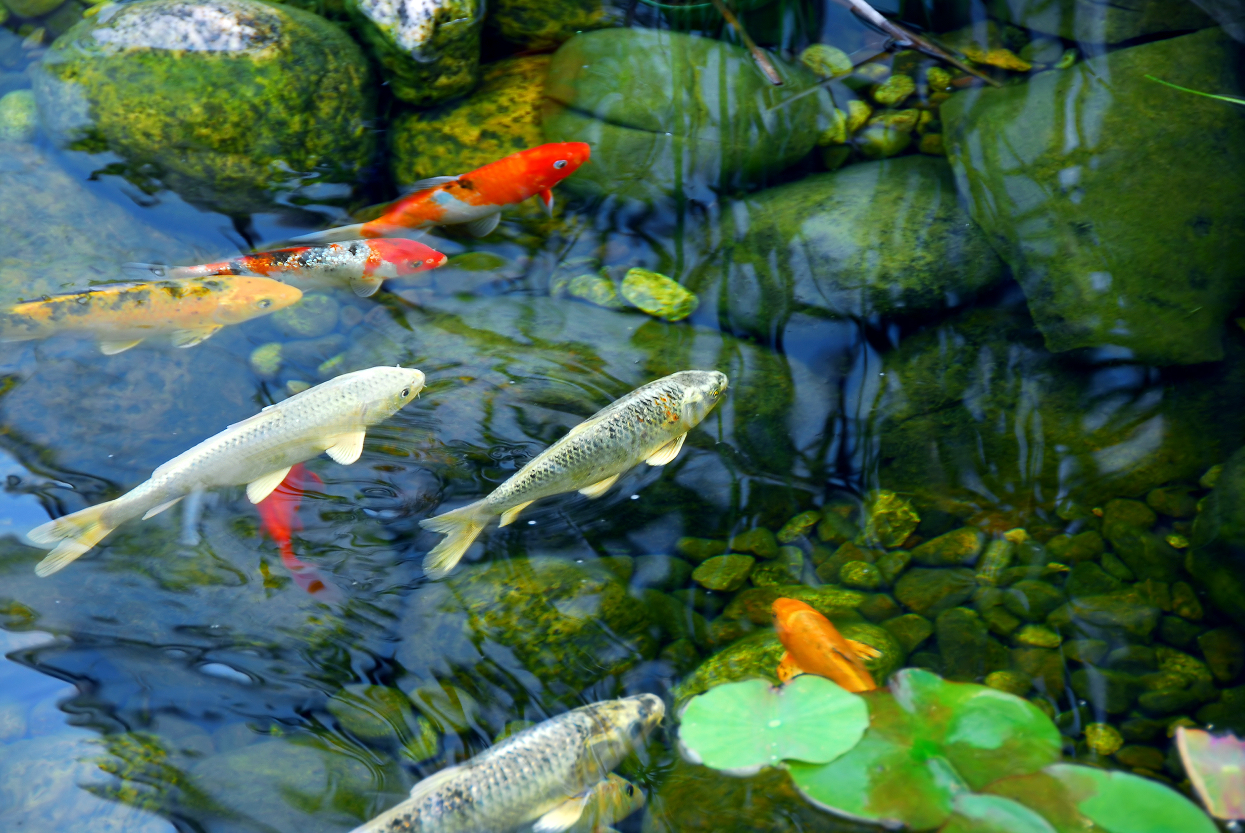 Koi carp in a pond. (Thinkstock/PA)