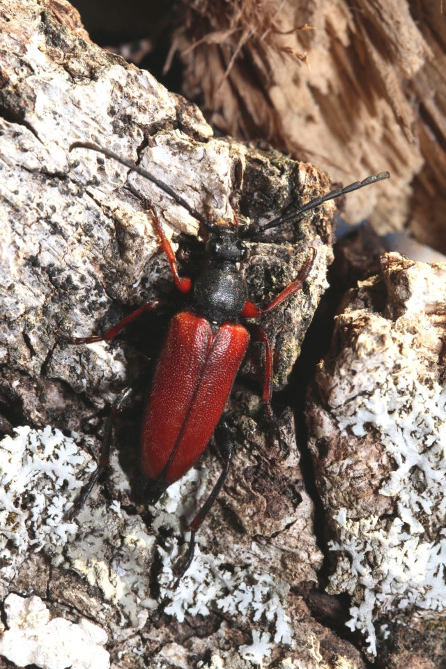 Survival of beetle species threatened by loss of old trees