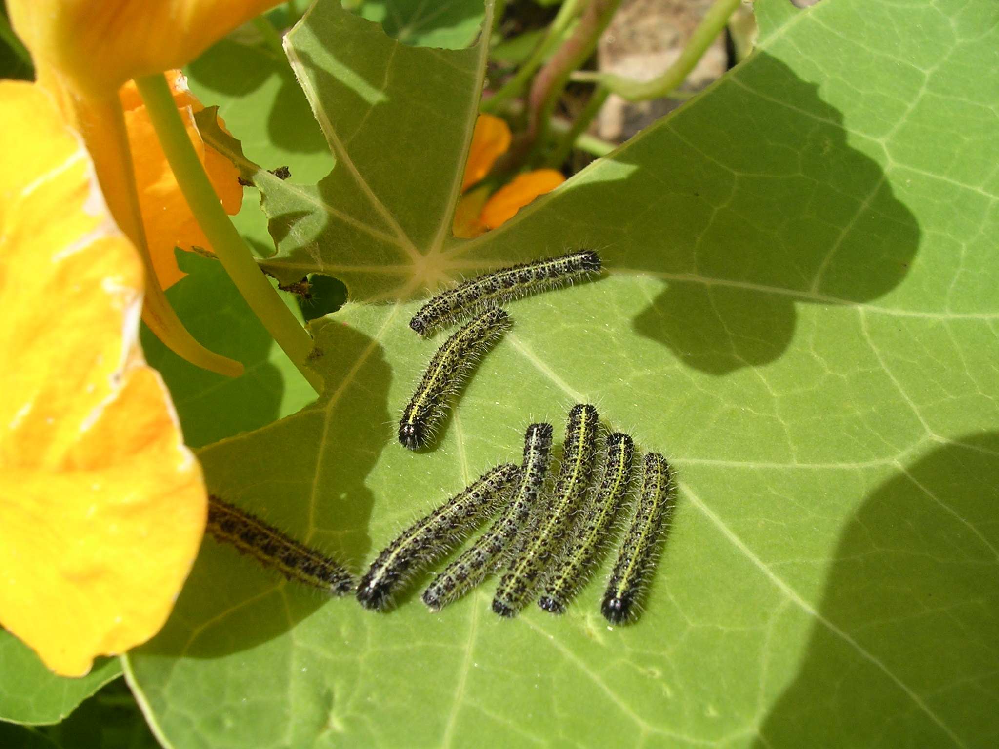 Nasturtiums are a magnet to caterpillars. (Thinkstock/PA)